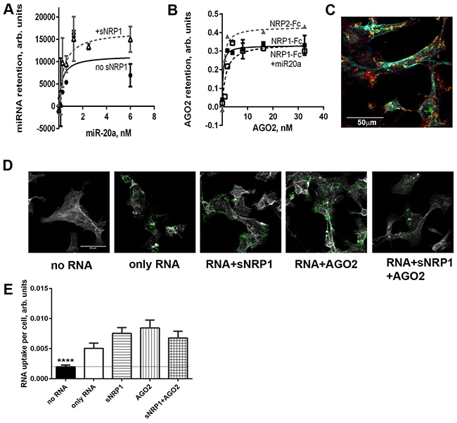 Recombinant AGO2 protein interacts with NRP1 and promotes miRNA uptake by ACHN cells.