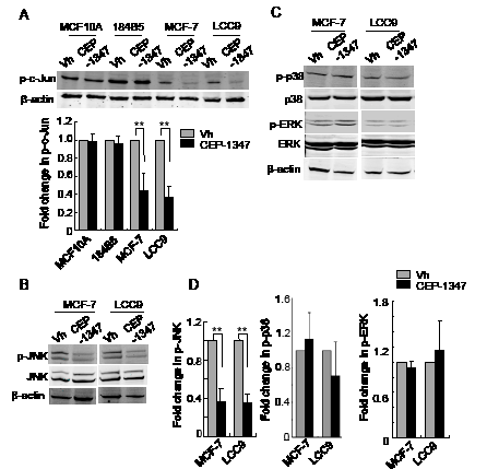 CEP-1347 treatment decreases JNK activity and c-Jun phosphorylation in MCF-7 and LCC9 cells.