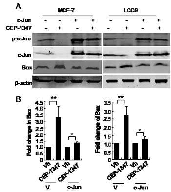 Overexpression of c-Jun suppresses CEP-1347- induced Bax expression.