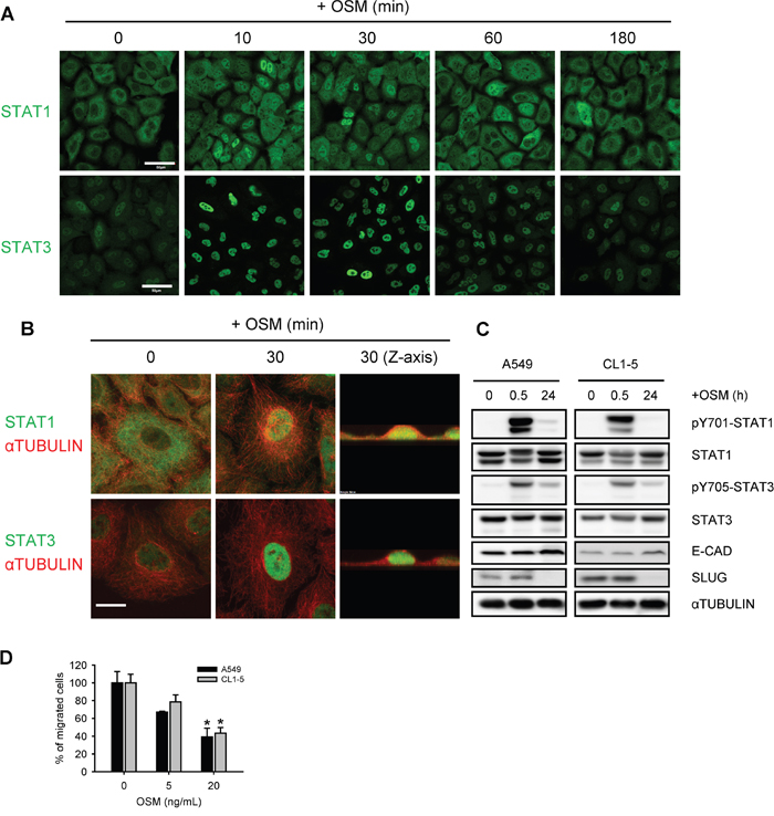 OSM induced the tyrosine phosphorylation and nuclear translocation of STAT1 and STAT3.