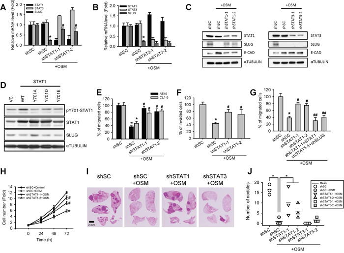 Knockdown of STAT1 increased SLUG level and enhanced cell motility and tumor metastasis.