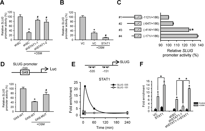 OSM induced STAT1 binding to SLUG promoter region to decrease SLUG promoter activity.