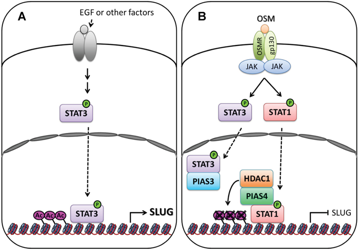 Signaling of OSM decreases SLUG expression in LAC.