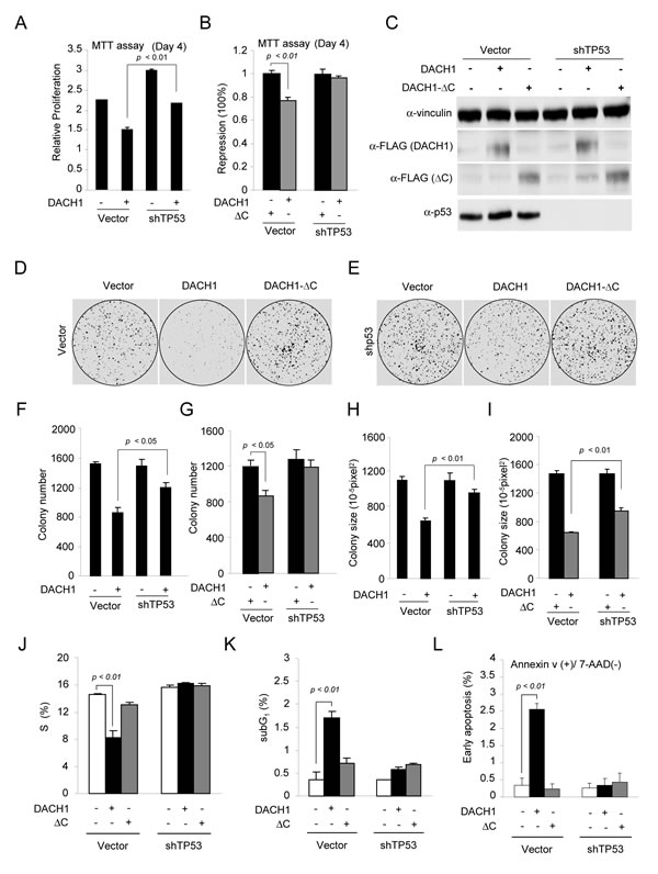 DACH1 enhances p53-dependent inhibition of colony formation and induction of apoptosis.