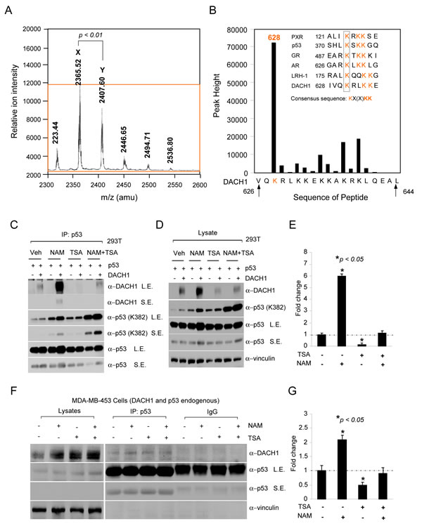 NAD-dependent binding of DACH1 to p53.