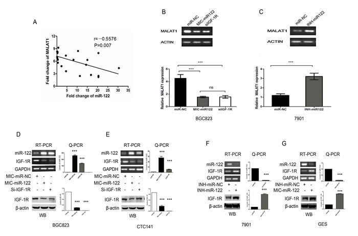 The miR-122-IGF-1R signaling might participate in the dysregulated MALAT1 expression in gastric cancer.