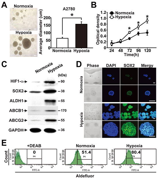 Hypoxia enhances CSC properties of ovarian cancer cells.