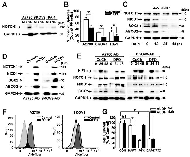 NOTCH1 signaling enhances CSC properties in ovarian cancer cells.