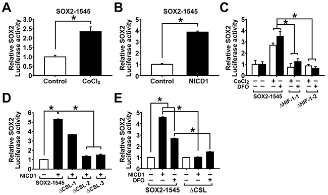 Hypoxia and NOTCH1 signaling increase SOX2 promoter activity.