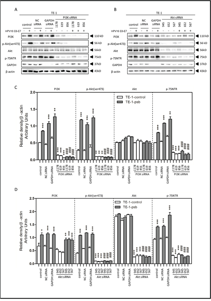 HPV16 E6-E7 increased p75NTR expression through PI3K/Akt signaling pathway in TE-1 cells.