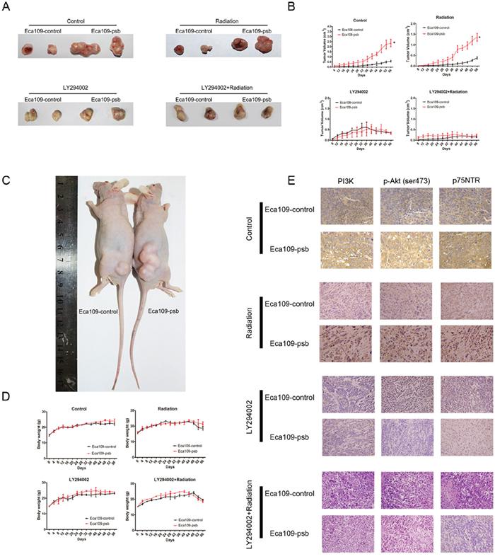 HPV16 E6-E7 promotes ESCC cells progress and radioresistance in vivo which are blocked by LY294002 via PI3K/Akt pathway.
