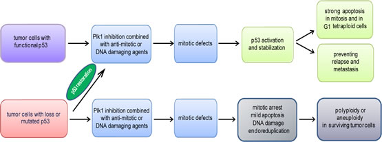 Figure 3:Schematic illustration of the impact of the p53 status on the efficacy of Plk1 inhibition.