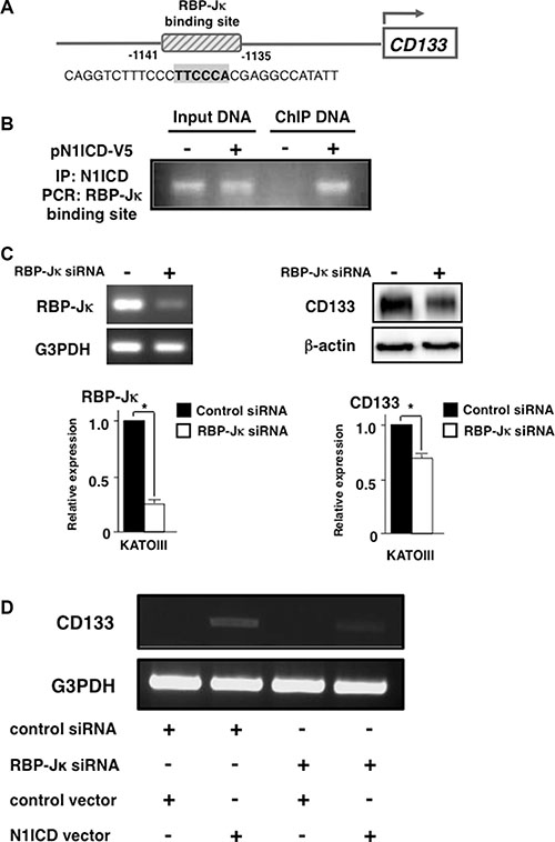Activated-Notch1 binds to RBP-Jκ binding site in CD133 promoter.