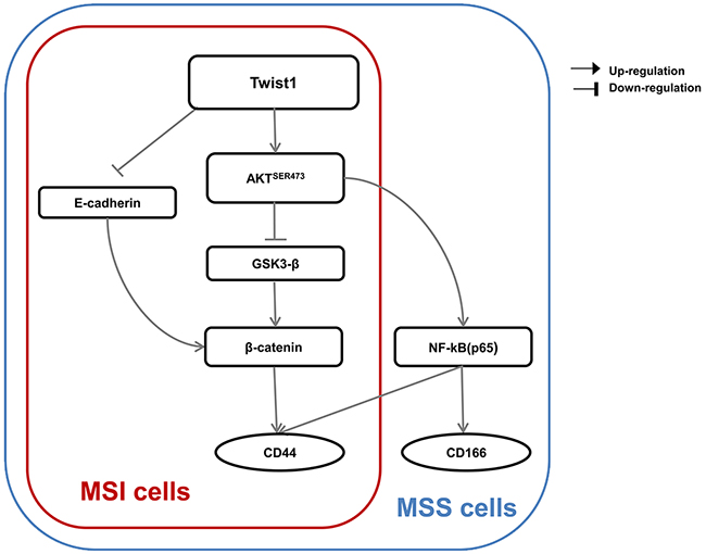A proposed model for a Twist1-induced EMT signaling pathway according to MSI status is presented.