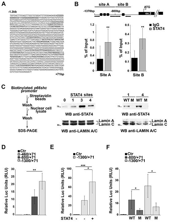 STAT4 regulates p66shc expression.