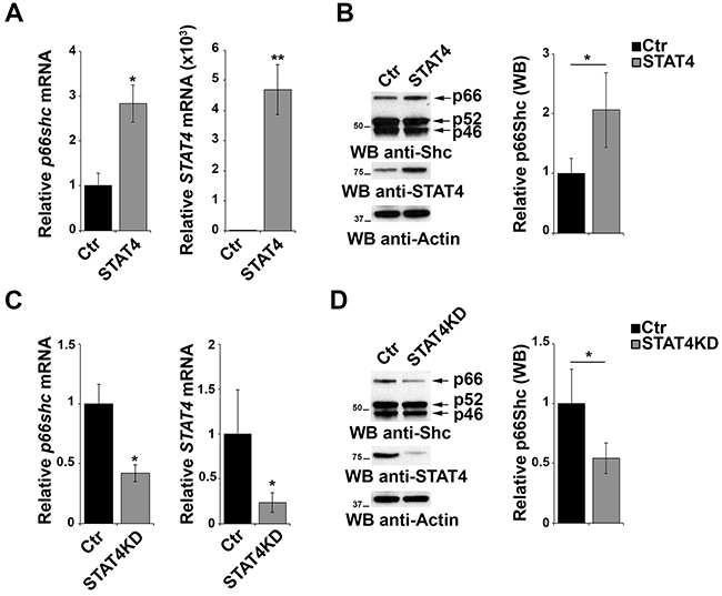 STAT4 modulates the levels of p66Shc in B cells.