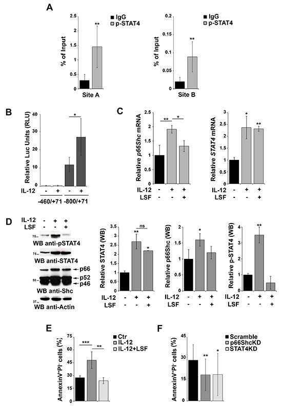 Activation of STAT4 promotes p66Shc transcription and B-cell apoptosis.