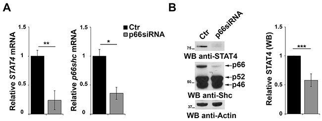 p66Shc affects STAT4 protein stability.