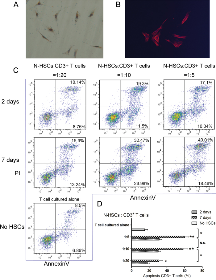 Activated α-SMA-positive HSCs could induce CD3+ T cells apoptosis.