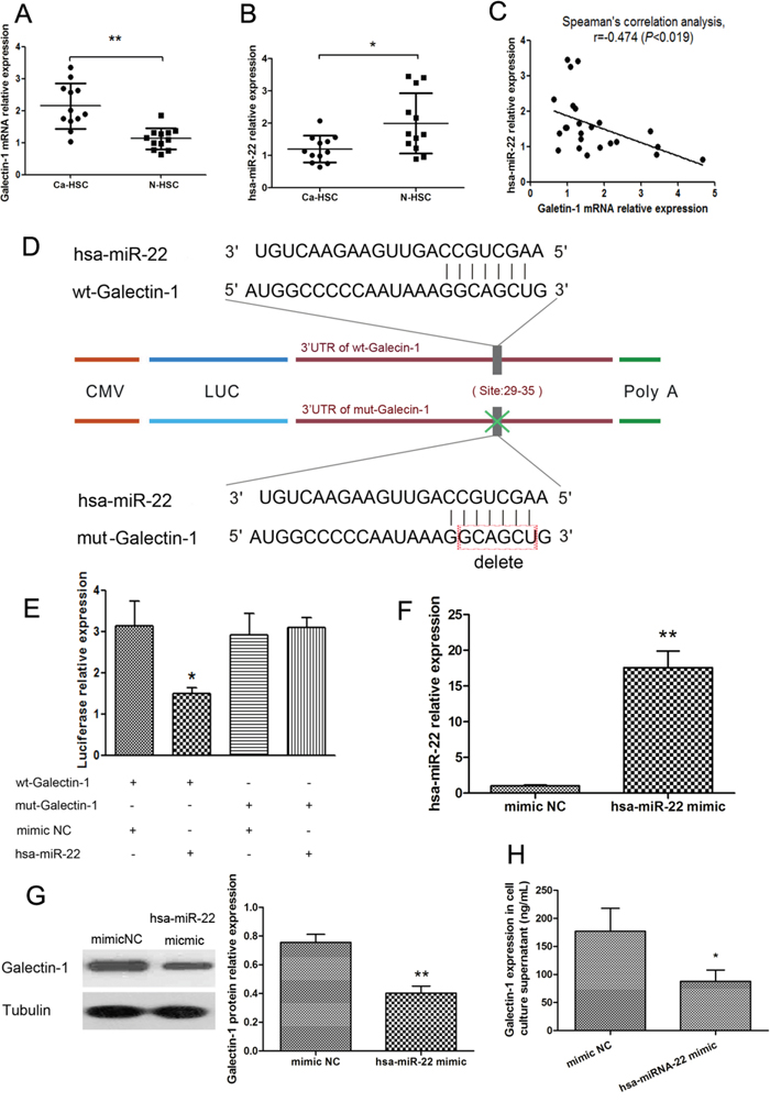Negative regulation relationship between galectin-1 and miR-22 expression in HSCs.