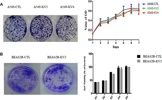 The proliferative and colony-forming abilities of KIF5B-RET transfected A549 and BEAS2B cells and the control groups.