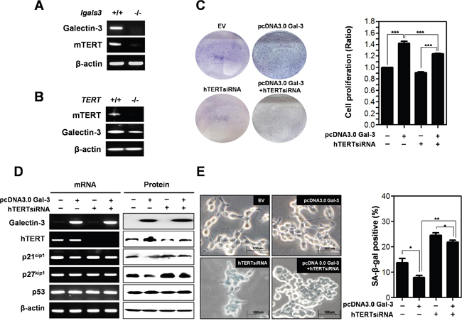 Detection of expression level of mTERT in galectin-3 knockout mouse embryo fibroblasts (lgals3-/- KO MEFs) and expression level of galectin-3 in mTERT knockout mouse embryo fibroblasts (TERT KO MEFs)