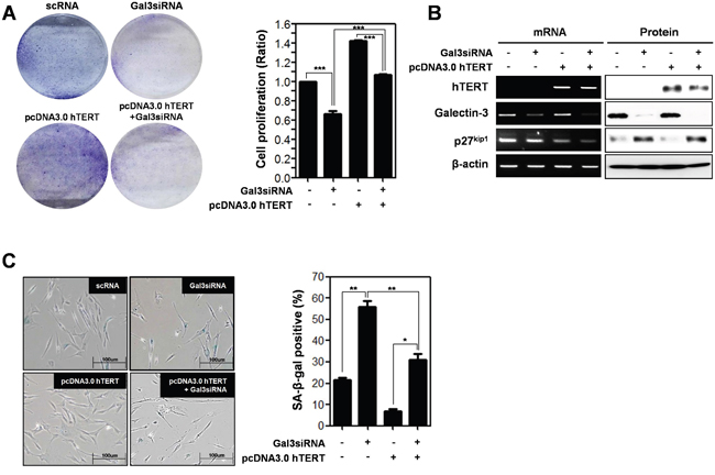 Depletion effect of galectin-3 on the overexpression of hTERT in both the cell proliferation and cellular senescence of human foreskin fibroblasts.