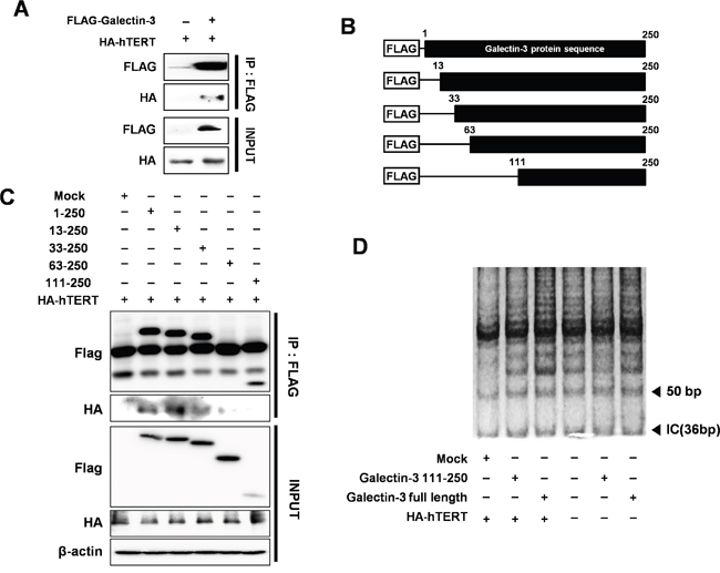 Detection of interaction between hTERT and galectin-3 through the N-terminal domain of galectin-3 and increased telomeric activity after galectin-3 overexpression.