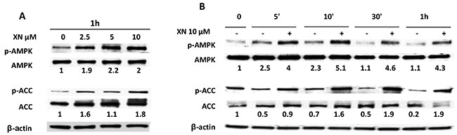 AMPK activation by XN in human endothelial cells.