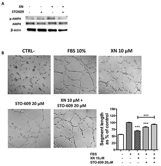 The role of CaMKKβ in XN-induced AMPK activation.