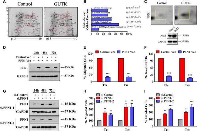 PFN 1 mediates GUTK action on HCC cell motility.
