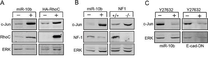 Upregulation of c-Jun is mediated by RhoC and NF-1.