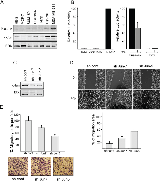 c-Jun contributes to the malignant properties of breast cancer cells.
