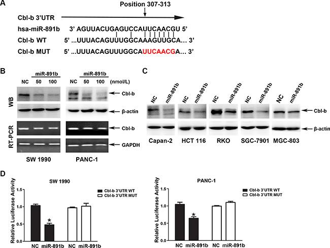 Cbl-b is a direct target gene of miR-891b.