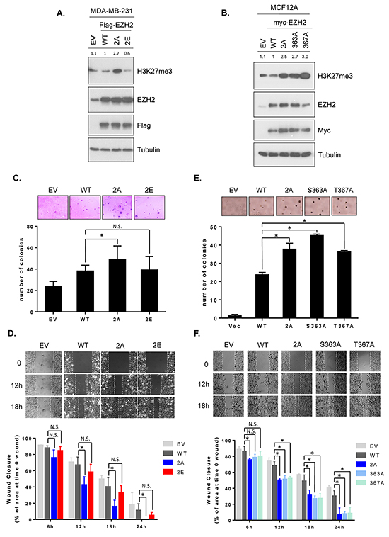 GSK3β-mediated EZH2 phosphorylation decreases H3K27 trimethylation and non-phosphorylatable mutants enhances anchorage-independent growth and cell migration.