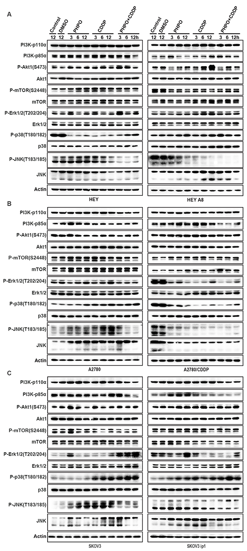 PHPO inhibits PI3K/Akt signaling and interrupts MAPK pathways.