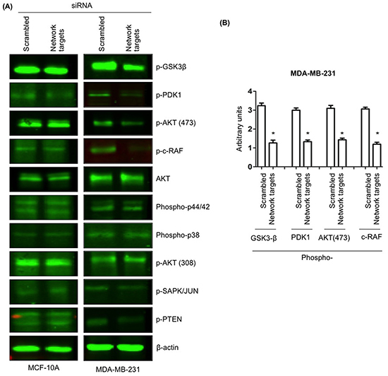 The knockdown of the network targets downregulates phosphorylation of PI3K/Akt and MAPK signaling pathways in MDA-MB-231 cells.