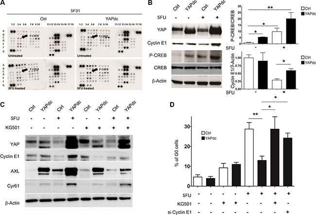 Ectopic expression of YAPdc alleviates cellular quiescence induced by 5FU.