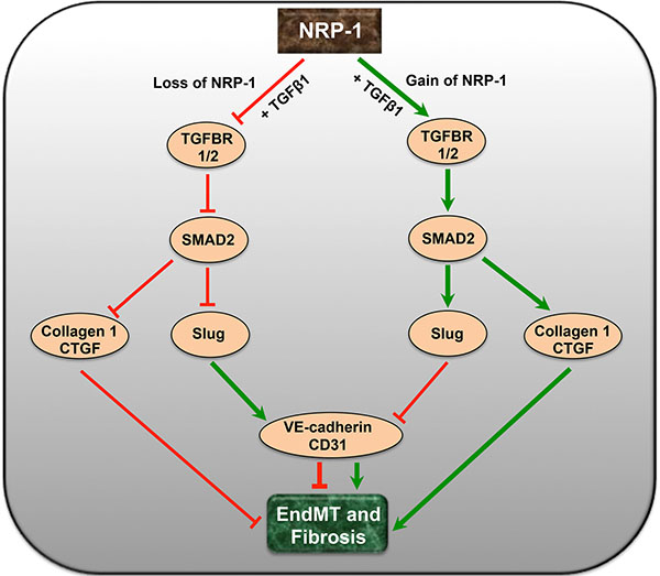 A putative schematic diagram depicting the complex interaction of NRP-1 and TGFβ-signaling pathway in EndMT and tumor fibrosis.