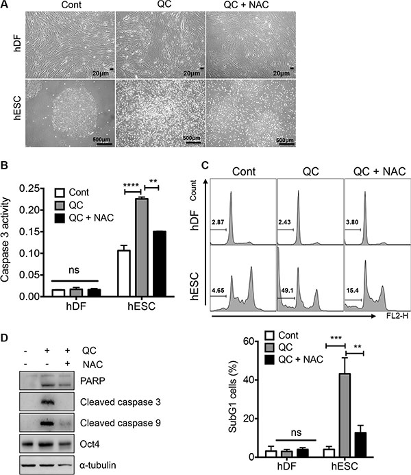 ROS is responsible for QC induced cell death in hESCs.