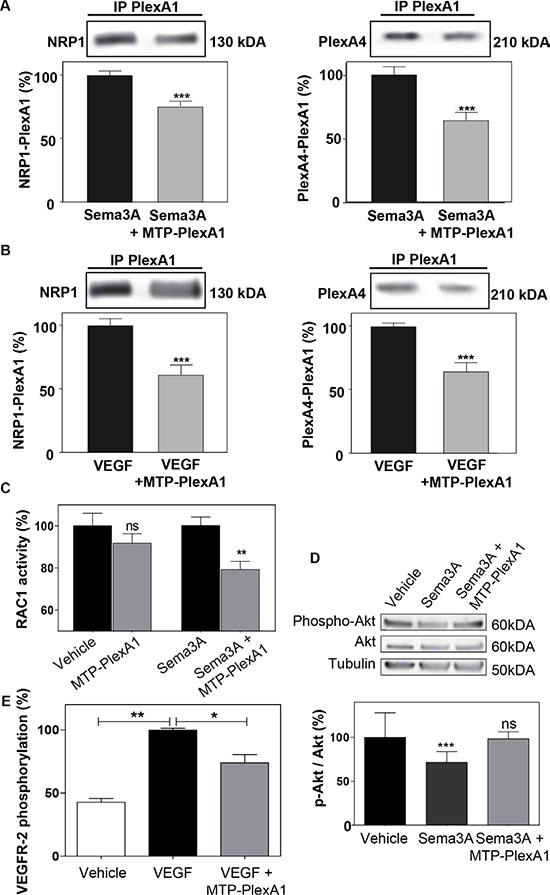 MTP-PlexA1 inhibits PlexA1 signaling.