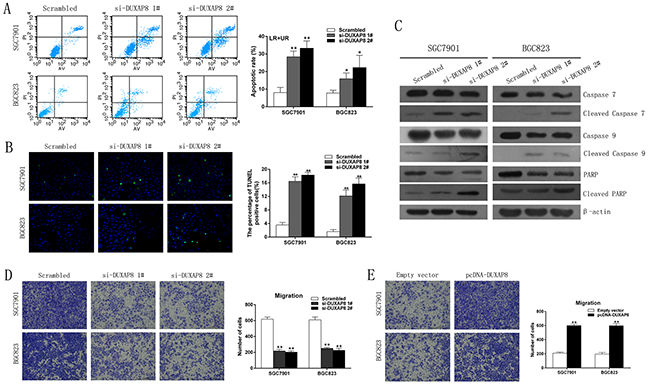 Effect of DUXAP8 on GC cell apoptosis and migrationin vitro.