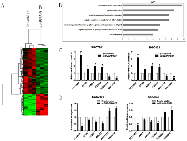 DUXAP8 knockdown increases the expression of genes involved in cell proliferation and migration.