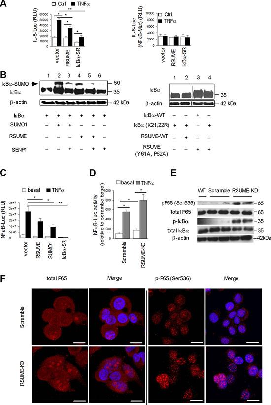 RSUME negatively regulates NF-κB activity by enhancing sumoylation of IκBα.