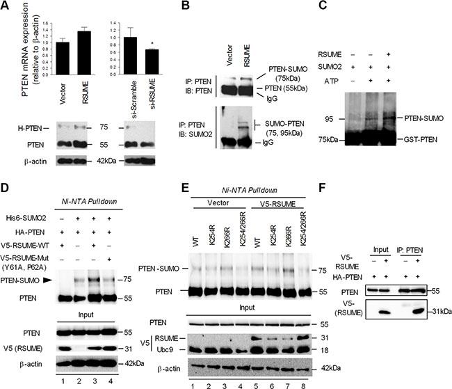 RSUME enhances SUMO-induced PTEN sumoylation.