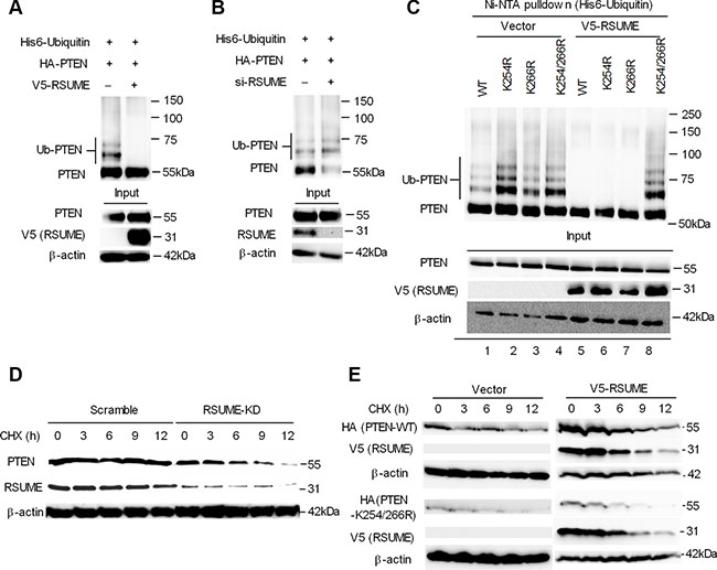RSUME inhibits PTEN ubiquitination and increases protein stability.