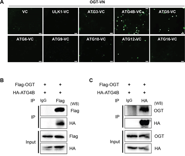 OGT directly binds to ATG4B in SH-SY5Y cells.