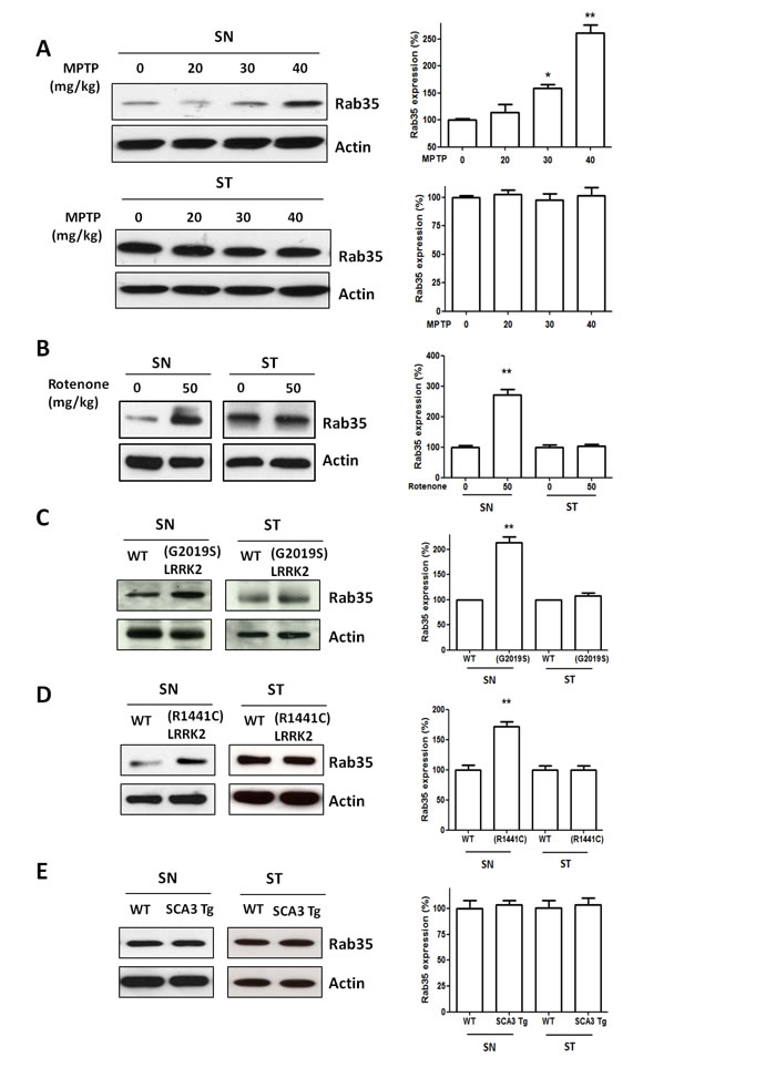 The protein level of Rab35 is increased in the substantia nigra (SN) of MPTP-treated mice, rotenone-treated mice, (G2019S) LRRK2 or (R1441C) LRRK2 transgenic mice, but not in the SN of SCA3 transgenic mice.