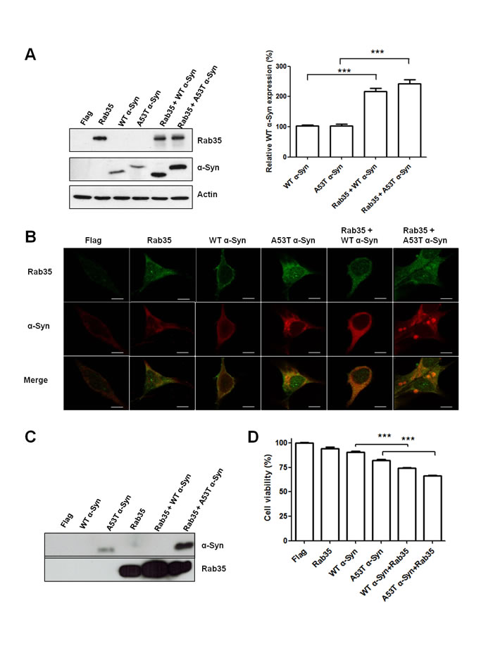 Rab35 promotes aggregation and secretion of A53T α-synuclein (A53T α-Syn).