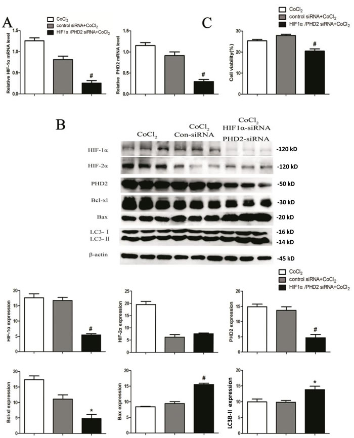 HIF-1α knockdown abolishes cytoprotection by PHD2 siRNA in CoCl